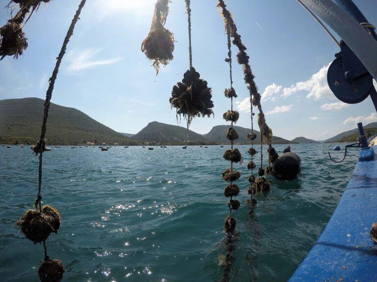 oyster farm adriatic sea croatia dubrovnik